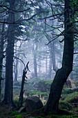 Spruce Forest at Brocken mountain, Harz National Park, Saxony-Anhalt, Germany