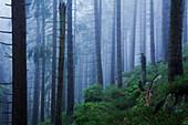 Spruces at Brocken mountain, Harz National Park, Saxony-Anhalt, Germany