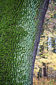 Bark of an oak tree in the grounds of castle Werneck, Unterfranken, Lower Franconia, Bavaria, Germany