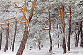 Pine forest with frost, Hohefeldplate nature reserve, Lower Franconia, Bavaria, Germany