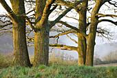 Old oak near Thuengersheim, Wuerzburg, Lower Franconia, Bavaria, Germany