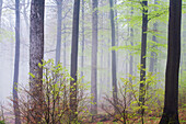 Beech forest in spring, Spessart Nature Park, Lower Franconia, Bavaria, Germany