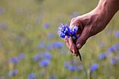 Hand holds blue corn flower in summer field, Mespelbrunn Hessenthal, Raeuberland, Spessart-Mainland, Bavaria, Germany