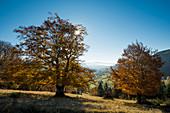 Herbstlich gefärbte Buche (Fagus sylvatica), bei Wieden, Schwarzwald, Baden-Württemberg, Deutschland
