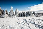 Snowy fir trees, snowdrift, Schauinsland, Freiburg im Breisgau, Black Forest, Baden-Wuerttemberg, Germany