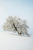 Snowy beech tree (Fagus), Schauinsland, Freiburg im Breisgau, Black Forest, Baden-Wuerttemberg, Germany