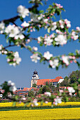 Tree blossom and rape fields in spring, Stiftskirche church, Herrenberg, Baden-Wurttemberg, Germany, Europe