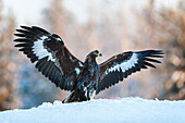 Juvenile golden eagle (Aquila chrysaetos), wings outstretched on the snow at the edge of a forest, Taiga Forest, Finland, Scandinavia, Europe