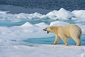 A polar bear (Ursus maritimus) is yawning on the pack ice north of Svalbard, Norway