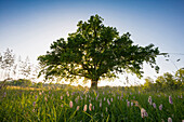 Evening atmosphere, Mozart Oak, Seeon, Chiemgau, Upper Bavaria, Bavaria, Germany