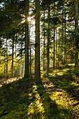 Fichtenwald im Herbst, Gegenlicht, Sonnenstrahlen, Feldberg, Schwarzwald, Baden-Württemberg, Deutschland