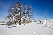 oaktree in snow, Quercus robur, Bavaria, Germany