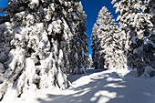 snowcovered spruce, Picea abies, Winterscenery on Arber Mountain, Bavaria, Germany, Europe