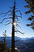 Abgestorbene Kiefer im Herbst, Pinus sylvestris, Herzogstand, Alpen, Oberbayern, Deutschland