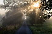 Weg und Bäume im Morgennebel, Eschen, Fraxinus excelsior, und Weiden, Oberbayern, Deutschland