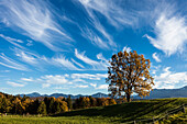 View from Aidling hights in fall, oak tree, Alps, Upper Bavaria, Germany, Europe