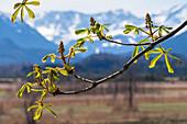 Blattaustrieb bei der Rosskastanie, Knospen, Aesculus hippocastanum, Oberbayern, Alpen, Deutschland