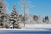 trees with whitefrost, winter scenery at Loisach River, Upper Bavaria, Germany, Europe