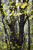 young leaves in spring, deciduous trees, Upper Bavaria, Germany, Europe