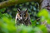 Waldohreule, Asio otus, Nationalpark Bayrischer Wald, Bayern, Deutschland