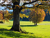 Oaktree in autumn, Quercus robur, Upper Bavaria, Germany, Europe