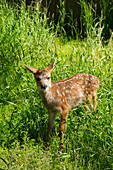 Captive Black, tailed deer Odocoileus hemionus fawn at the Alaska Wildlife Conservation Center in summertime, Portage, United States of America