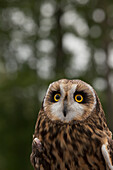 Captive Short, eared owl Asio flammeus at the Alaska Wildlife Conservation Center, Anchorage, Alaska, United States of America
