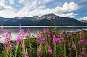 A colourful patch of fireweed Chamerion angustifolium stands between the Seward Highway and the the waters of Turnagain Arm, Kenai Mountains in background, South, central Alaska, Alaska, United States of America