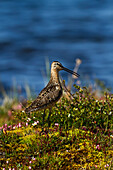 Long, billed dowitcher Limnodromus scolopaceus walking along bank of tundra pond, in wetlands, among bog rosemary Andromeda polifolia flowers, in Arctic tundra, Arctic coastal plain, North Slope, Northern Alaska, Alaska, United States of America