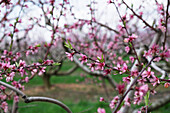 Peach orchard in blossom, Lancaster, Pennsylvania, United States of America