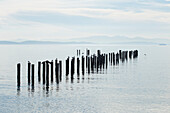 A group of old pilings with a heron, seagulls and cormorants sitting on pilings, Point Roberts, Washington, United States of America