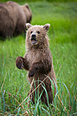 Brown bear ursus arctos cub standing on it's hind legs with mouth open, Lake Clark, Cook Inlet, Alaska, United States of America