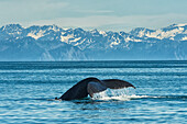 Humpback whale Megaptera novaeangliae in Seward harbour, Seward, Alaska, United States of America