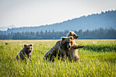 Alaskan coastal bear ursus arctos in a grass field with her cubs, Lake Clark National Park, Alaska, United States of America