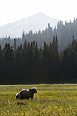 Alaskan coastal bear ursus arctos in a grass field with forest and mountain in the background, Lake Clark National Park, Alaska, United States of America