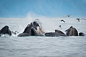 Humpback whales Megaptera novaeangliae bubble feeding in the Seward harbour, Seward, Alaska, United States of America