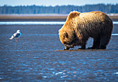 Alaskan coastal bear ursus arctos clamming, Lake Clark National Park, Alaska, United States of America