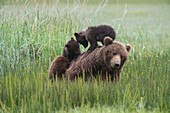 Alaskan coastal bear ursus arctos sow nursing her cubs in a grass field, Lake Clark National Park, Alaska, United States of America