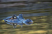 Caiman Caimaninae watching at the surface of the water, Pantanal Conservation Area, Brazil