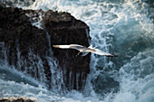Seagull in flight with powerful rushing water against rocks in the background, Galapagos Islands, Ecuador