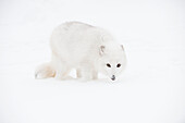 Arctic fox Vulpes lagopus in the snow, Triple D Ranch, California, United States of America