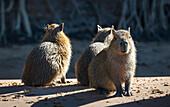 Capybara Hydrochoerus hydrochaeris, Pantanal Conservation Area, Brazil