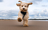 A cockapoo running towards the camera on a beach, South Shields, Tyne and Wear, England