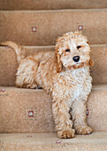 Cockapoo sitting on the carpeted steps at home, South Shields, Tyne and Wear, England