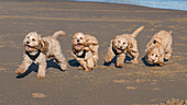 Composite image of a cockapoo running on the beach, with 5 images in a row, South Shields, Tyne and Wear, England