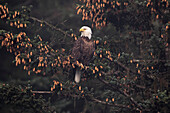 Bald eagle Haliaeetus leucocephalus perched in Sitka spruce tree, Southcentral Alaska, Alaska, United States of America
