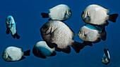 A school of Hawaiian Dascyllus Dascyllus albisella, a Hawaiian endemic fish, off the Kona coast, Kona, Island of Hawaii, Hawaii, United States of America