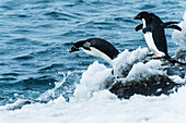 Adelie penguins pygoscelis adeliae jumping in the water, Antarctica