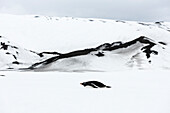 Lone penguin on Deception Island, Deception Island, South Shetlands, Antarctica