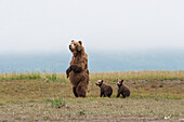 Brown bear ursus arctos and cubs standing in a row, Katmai National Park, Alaska, United States of America